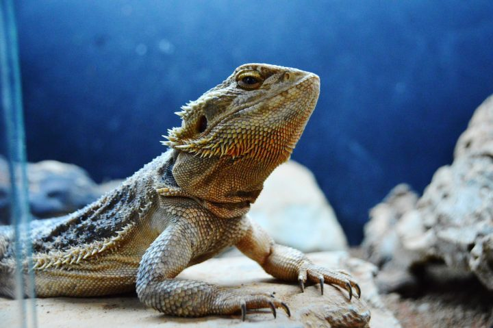 a group of baby bearded dragons