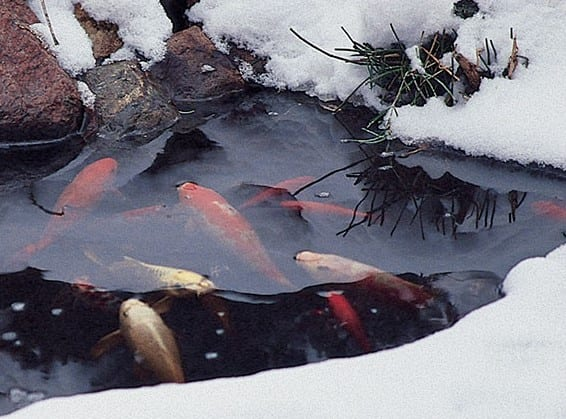 Fish and the winter time blues..aka..what food should I be feeding my pond fish?