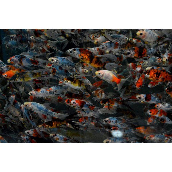 shirley aquatics shubunkins pond fish goldfish