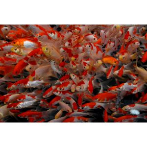 shirley aquatics sarasa comets pond fish goldfish