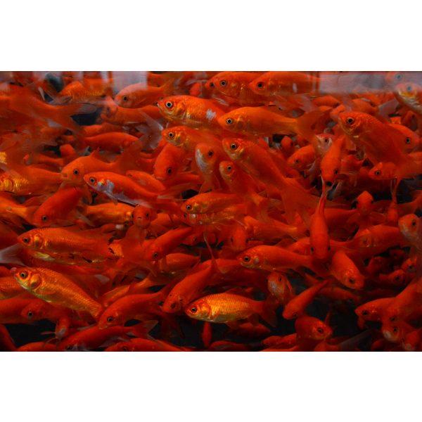 shirley aquatics red comets pond fish goldfish