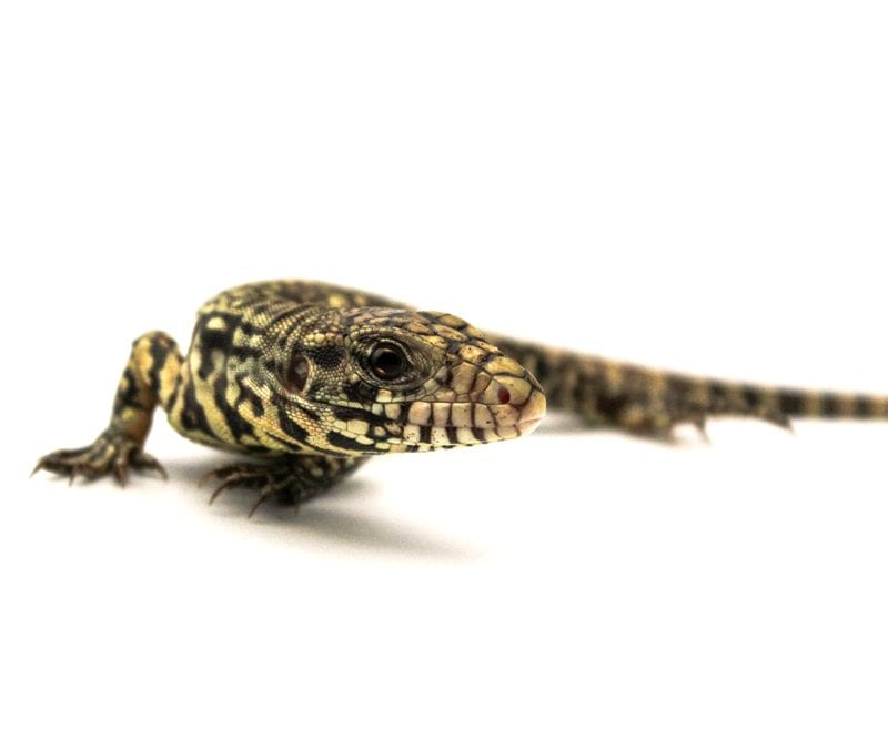 How much should I feed my pet reptile?