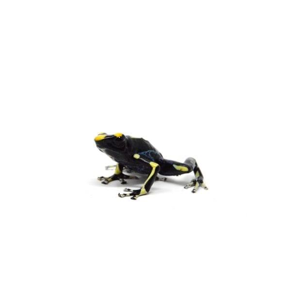 shirley aquatics reptiles blue dyeing poison dart frog amphibian