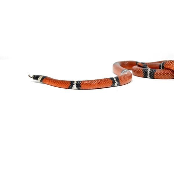 shirley aquatics reptiles milk snake