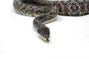 shirley aquatics reptiles rat snake