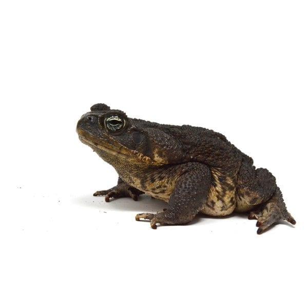shirley aquatics reptiles cane toad