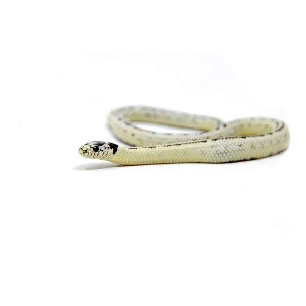 shirley aquatics reptiles californian king snake