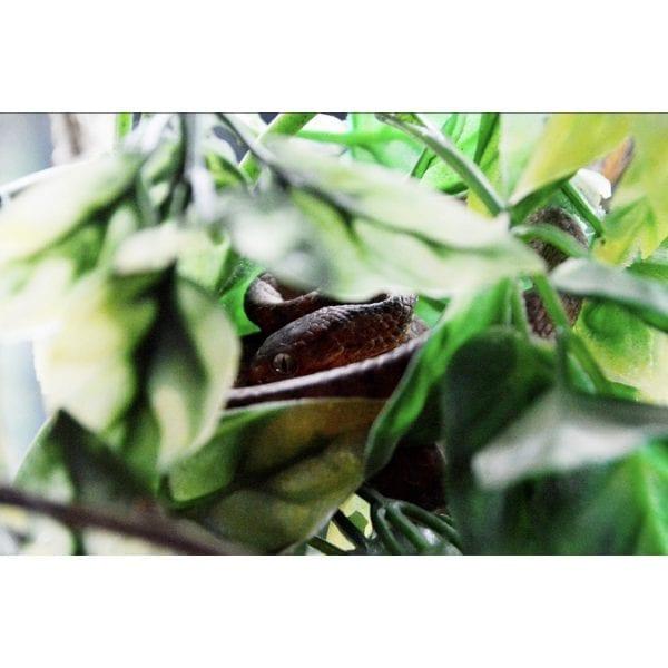 shirley aquatics reptiles keeled snail eating snake