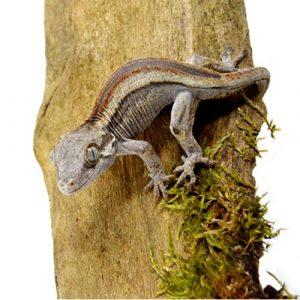shirley aquatics reptiles gargoyle gecko lizard