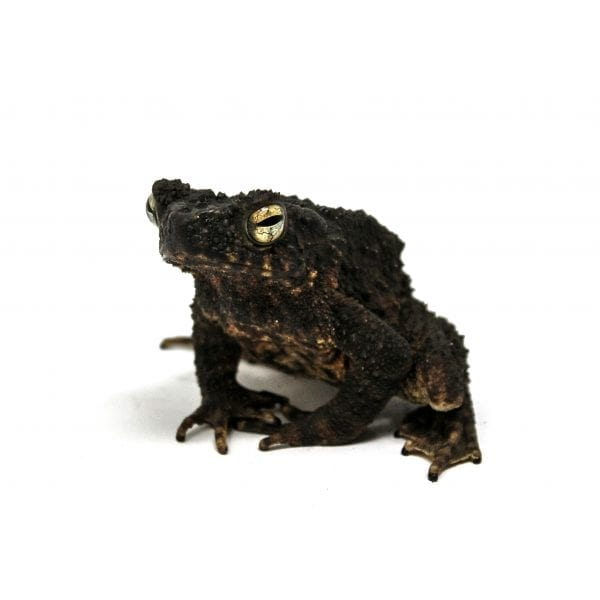 giant stream toad