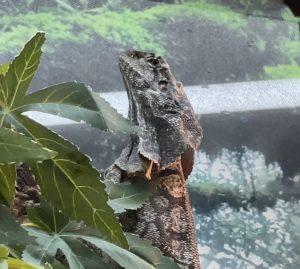 Frilled Lizard Care Sheet