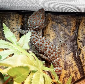 tokay gecko care sheet