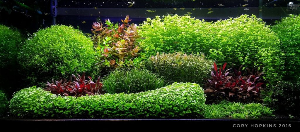 stunning dutch style aquascape by Cory Hopkins entitled 'Can't Dutch This'